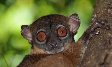 lemur-jugueton-norteno