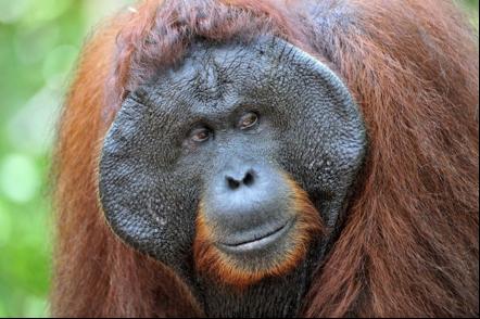 orangutan-de-sumatra