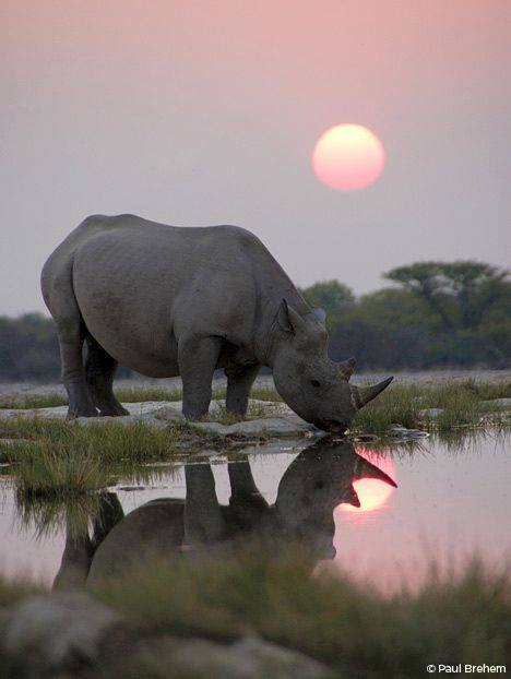 rinoceronte-africa