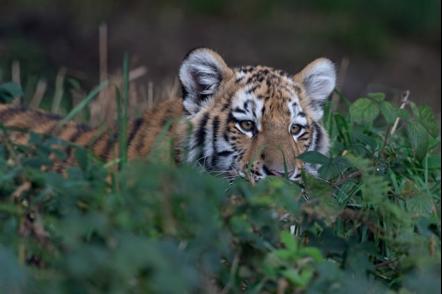 tigre-de-siberia