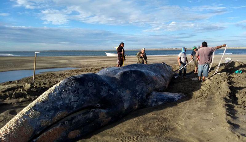 México: Regresan al mar ballena gris varada durante 3 días